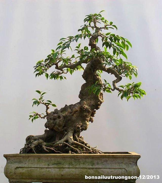 ~ Ficus Bonsai ~