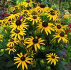 Rudbeckia fulgida var. sullivantii 'Little Goldstar': A recent introduction, this is a compact black-eyed Susan that will put on a particularly abundant display of flowers from midsummer. The yellow daisy-like flowers look luminous sitting on top of stout branching stems, which rise above the bushy mounds of lush green foliage.