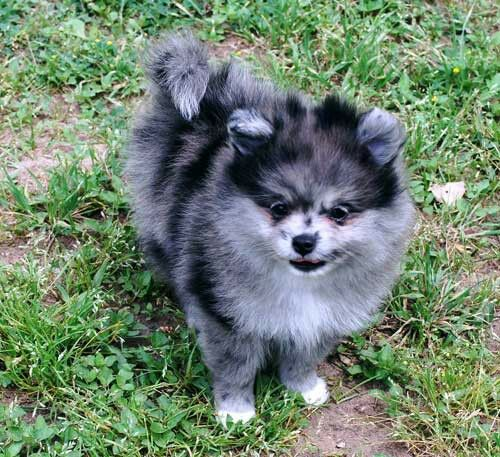 blue pomeranian for sale best 25 blue merle pomeranian ideas on pinterest merle 5602