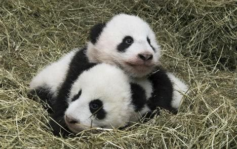 Vienna's panda twins named, to meet public soon
