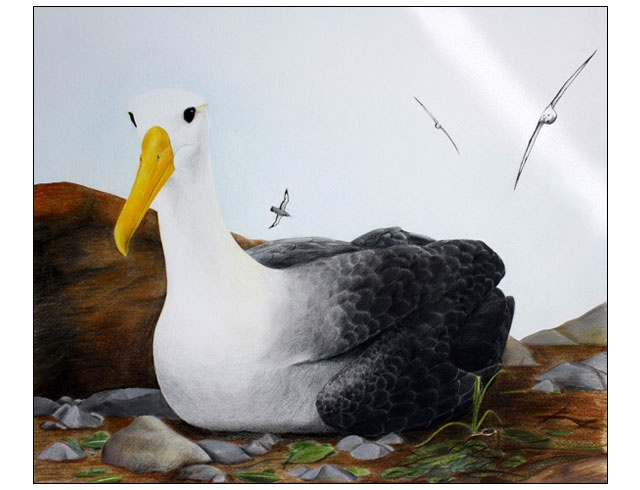 Albatross. Coloured pencil drawing by Angus Fisher.