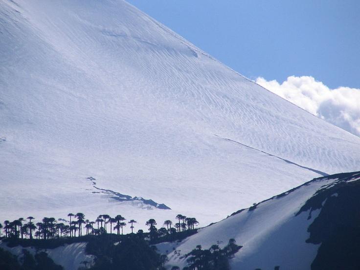 Araucaria araucana (Monkey-Puzzle Tree, Pehuén) on the slopes of Volcan Llaima, Parque Nacional Conguillío, Chile: