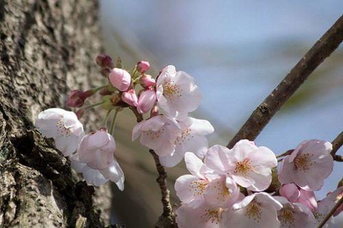 Cherry blossom 国際文化会館の桜 cherryblossom サクラ 国際文化会館 桜 flower plant