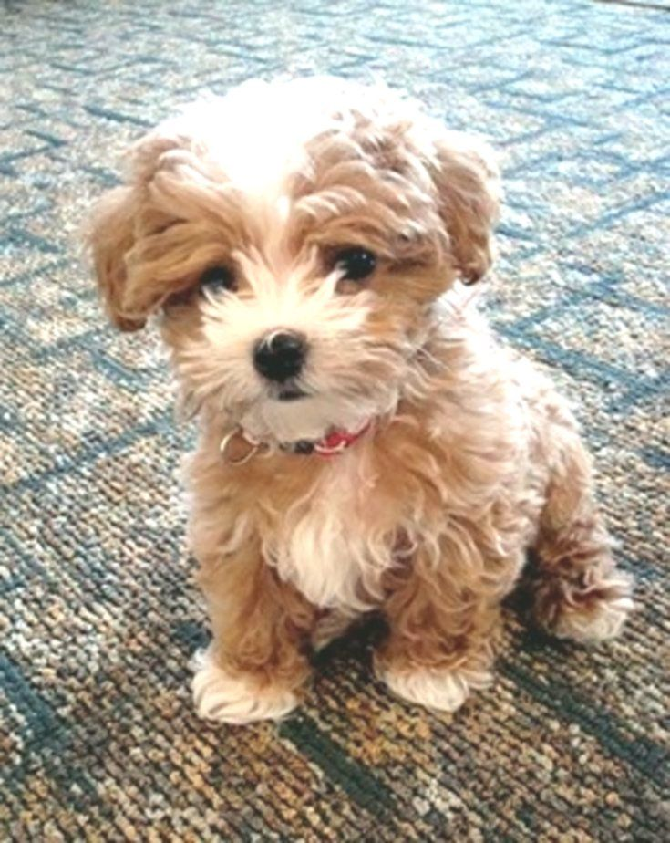 100 Best Maltipoo Dog Names In 2020