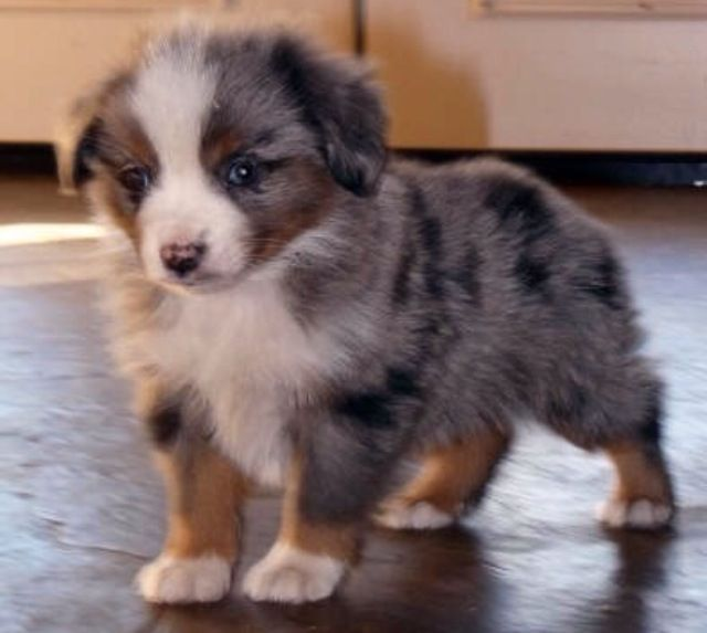 Sweet Toy Australian Shepherd Puppy... :) ~T~ I remember when Piper was this little.