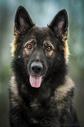 """Click visit site and Check out Best """"German Shepherd"""" T-shirts. This website is excellent. Tip: You can search """"your name"""" or """"your favorite shirts"""" at search bar on the top."""