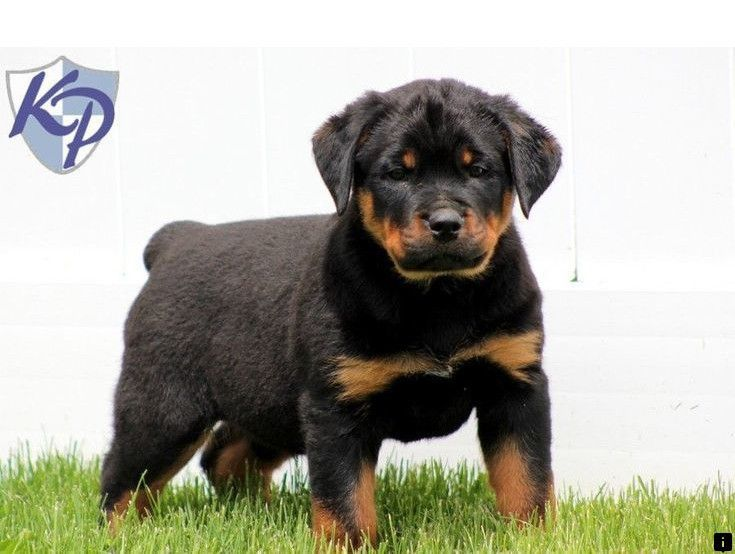 Learn More About Dogs For Sale Follow The Link To Learn More