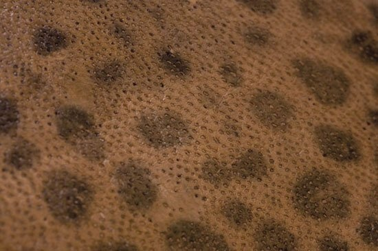 Fish leather : wolffish (natural)