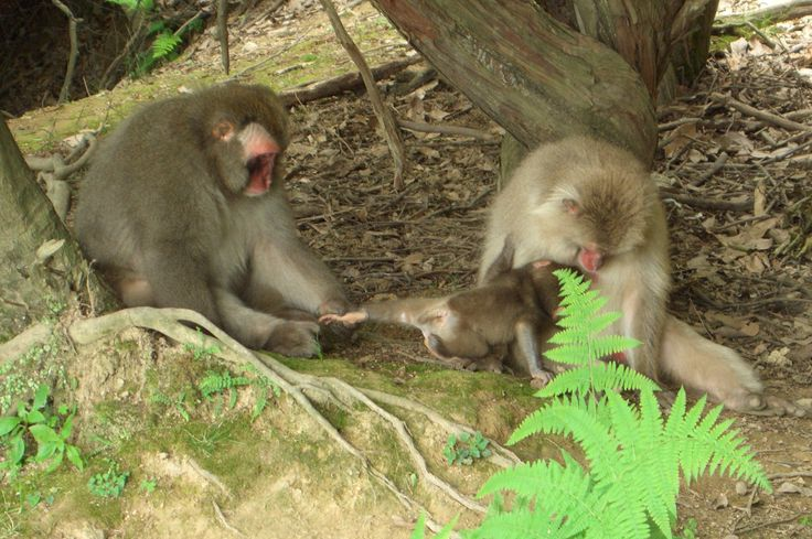 Macaca fuscata females and baby