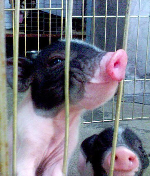 Too happy to care about the cage. See more on PawNation: http://aol.it/1guWDr4 #pawnation #teacuppigs