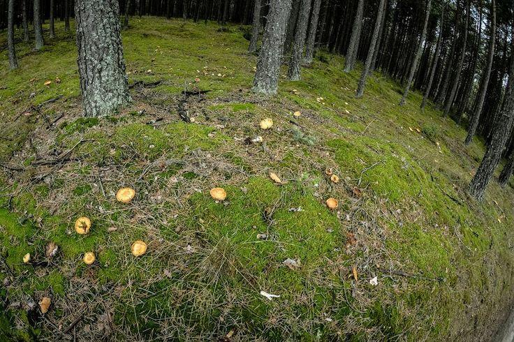 #tastegdansk #gdansk #pomorskie #mushrooms #forest | photo: Lidia Skuza