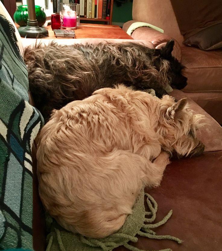 Sleeping Cairn Terriers
