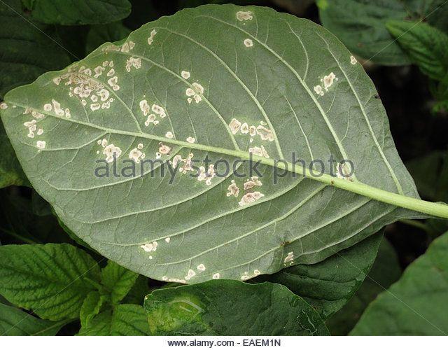 White rust, Albugo bliti, blisters on the upper surface of amaranth or pigweed leaves, Amaranthus retroflexus, - Stock Image