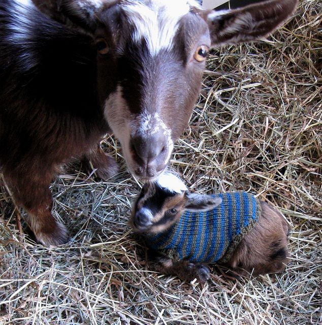 The first baby goat kid born here, little Nymphie (Nymphadora) with one of her handknit wool sweaters. She's a nigerian dwarf dairy goat.