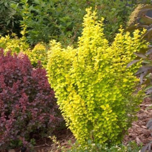 Golden Rocket Barberry Berberis Thunbergii Golden Rocket