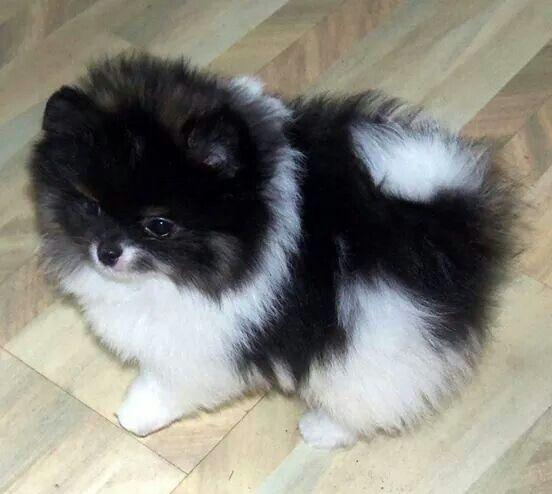Een zwart / witte dwergkeeshond. black & white Pomeranian
