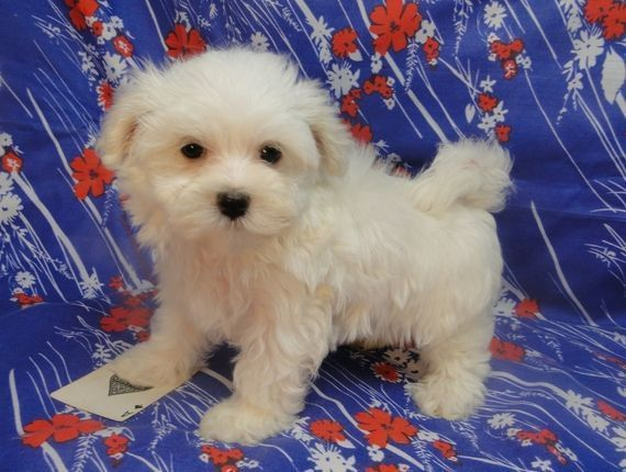 Venus Maltese Puppy Puppyspot Maltese Puppy Teacup Puppies Maltese Maltese