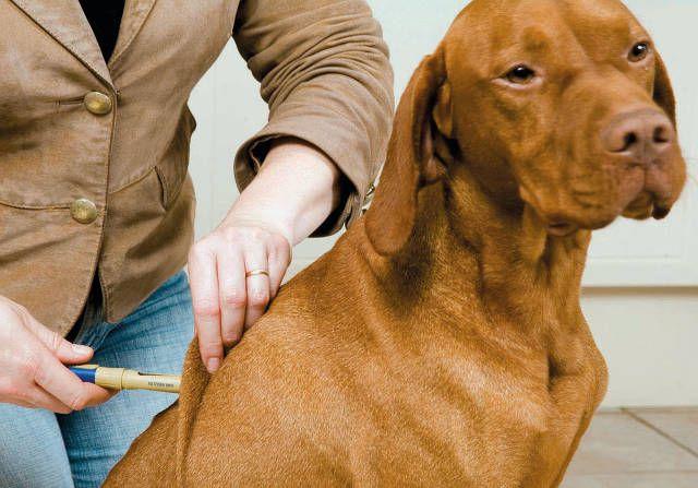 Anders als beim Menschen kann ein Diabetes beim Haustier nicht mit Tabletten behandelt werden. Bei Hunden und Katzen besteht die Standardtherapie darin, Insulin zu injizieren. Bild: Intervet