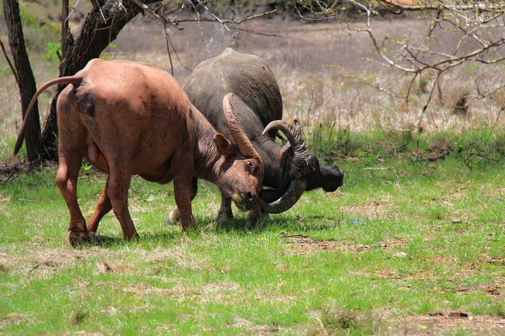 The story behind the Caci dance comes from two brothers and their buffalo. These two playful buffalos portrayed the idea behind the dance.