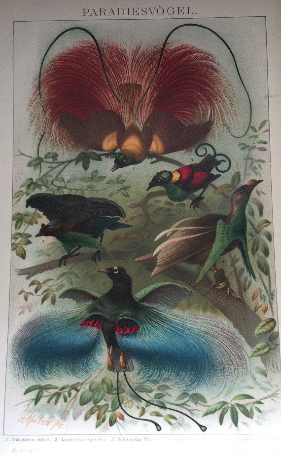 Antique Mono litograph 1897 birds of paradise by ArteEtBrocante