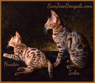 bengal cats for sale buy a bengal cat bengal kitten pricing, bengal cats, bengal kittens for sale, Bengal Breeder, bengal kittens california, bengal kittens bayarea, San Jose, CA Available Bengal Kittens
