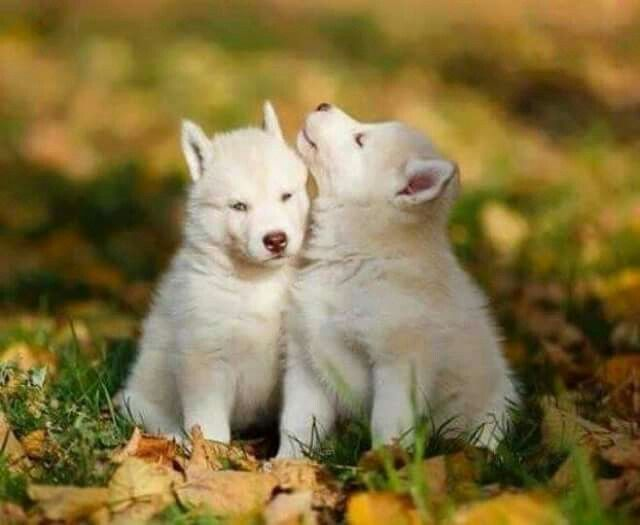 This is Lilith and Oakley they are SilverBullet's pups. They're dad was killed by hunters. They are very playful and have tons of energy. They are very protective over their little brother Ransom