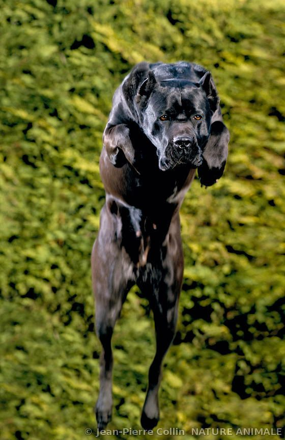 #Cane #Corso someday you will be a part of my family<3