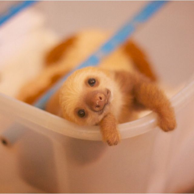 a baby sloth ❤️ slothliness is next to godliness.. when you're a baby sloth !
