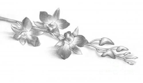 orchids drawing pencil