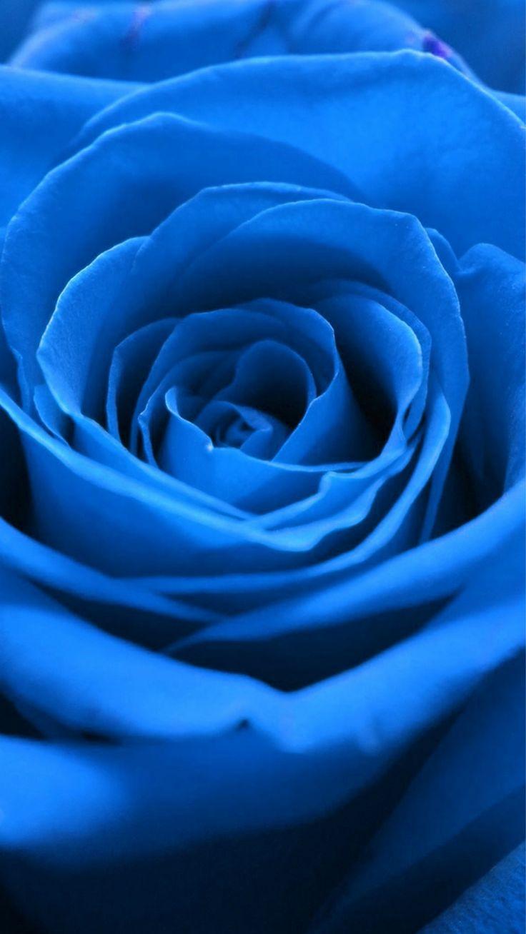 Nature Blue Rose Flower Macro #iPhone #6 #plus #wallpaper