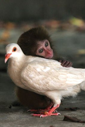 Monkey and dove--friends - so sweet