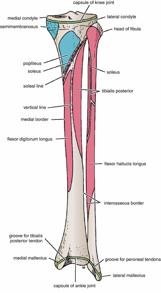 536 best biology images on pinterest gym learning and nursing muscle attachment of tibia fandeluxe Image collections
