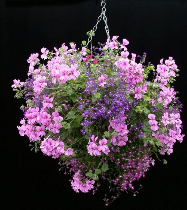 Geraniums are great plants for hanging baskets – they have such a great range of colors.  It can be somewhat confusing however when it comes to choosing the right type of geranium for your baskets or hanging planters as there are usually many types of Geranium on offer.   This is a guide on some of the different types, and how to use Zonal Geraniums in hanging baskets and hanging planters.