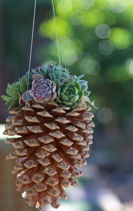 Combine the warm, seasonal texture of pine cones with the cool, soft green of succulents for a rustic, yet elegant hanging container. Pro tip: suspend three on fishing wire in a kitchen window for a fresh winter tableu. Full DIY instructions here.