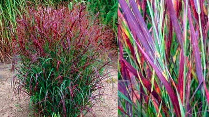 17 best images about grass on pinterest gardens sun and for 6 foot tall ornamental grass