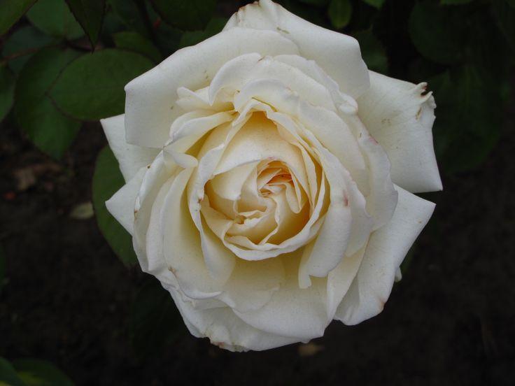 Rose 'Ambiente'