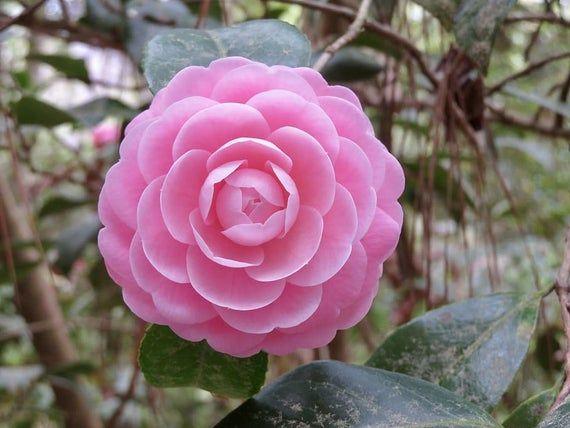 50pcs Camellia Flower Seeds Camellia Flower Plant Flower Seeds In 2020 Flower Seeds Camellia Flower Planting Flowers