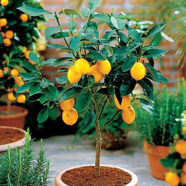 Citrus limon; pflegeleicht, wachsen im Kübel, größten Teil des Jahres draußen (halten leichten Frost aus), überwintern an einem hellen, nicht zu warmen Platz