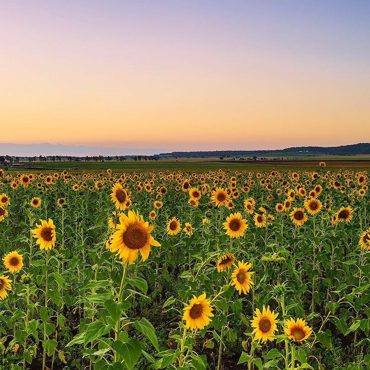 Spent a day hanging out in sunflower fields near Toowoomba in South East Queensland with my buddy @simonbeedlephotography a couple of days ago. #toowoomba #bromance