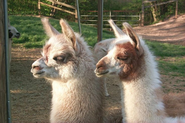 llamas llama and strange origin Fixed the supply llama not playing destruction effects when killed by projectiles  origin story  there are reports of a strange new husk lurking about harassing survivors and ray has .