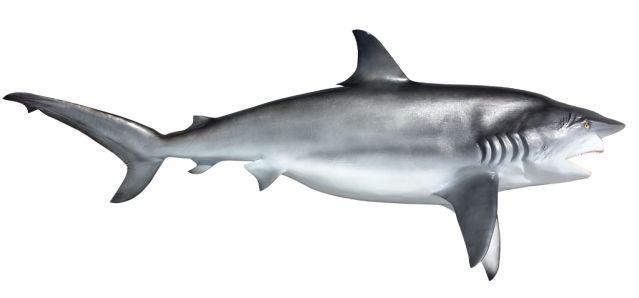 Dusky Shark Mounts