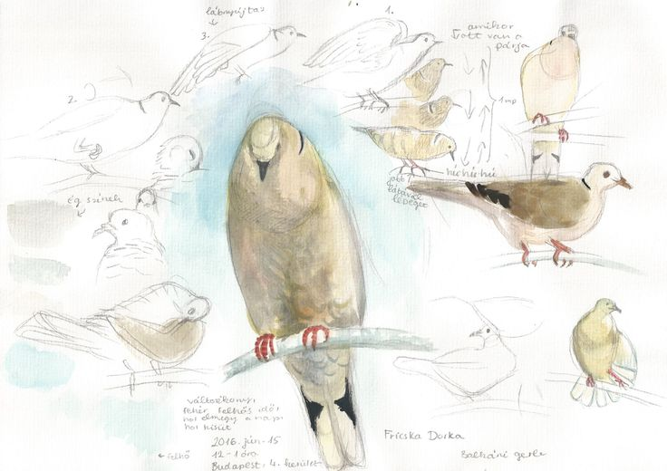 Collared dove pencil , watercolour sketches looking through scope / life study, bird ,animal/