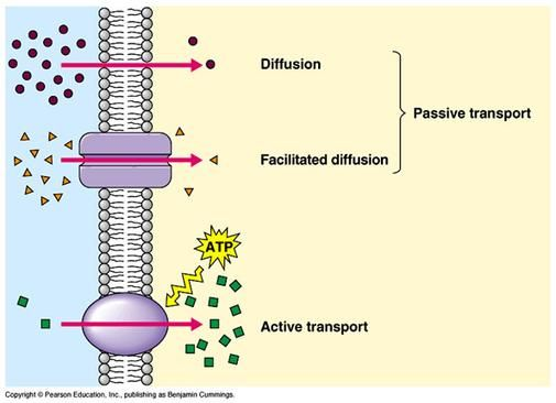1000 ideas about passive transport on pinterest mitosis  : passive transport diagram - findchart.co