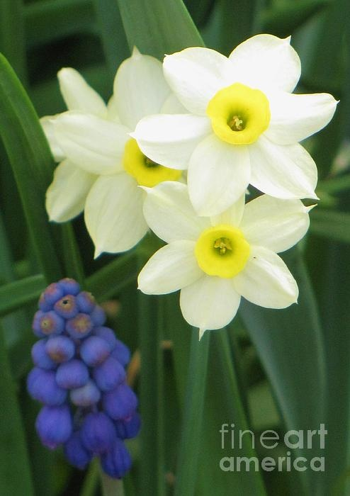 Narcissus - love them, they smell heavenly!