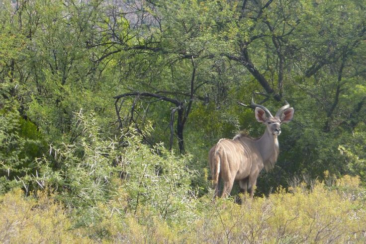 Young Kudu bull.