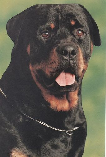 rottweiler...I want to do Shadow in an art quilt one day.