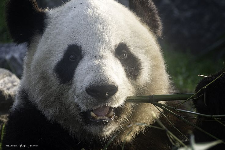 Panda Bear - Toronto Zoo