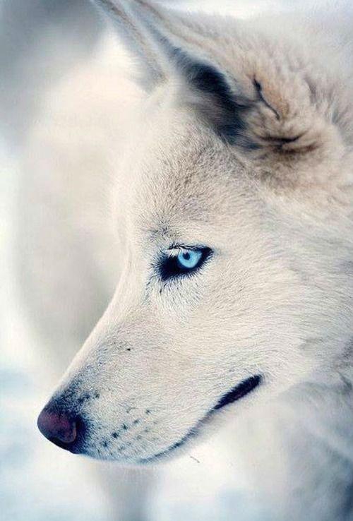 картинки голубоглазых волков отправилась