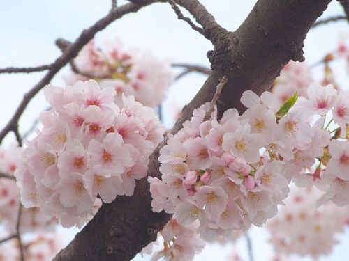 桜🌸cherry blossom 2016 spring...