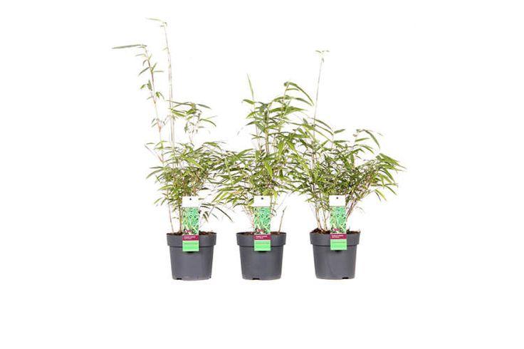 Rode Bamboe planten - 3 rode bamboe planten (gratis verzending) | VakantieVeilingen.nl | Bied mee